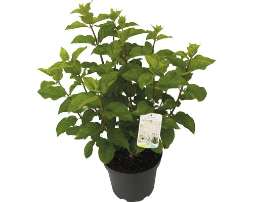 Hortensia paniculé Hydrangea paniculata ''Silver Dollar'' H60-80cm Co 7,5 l