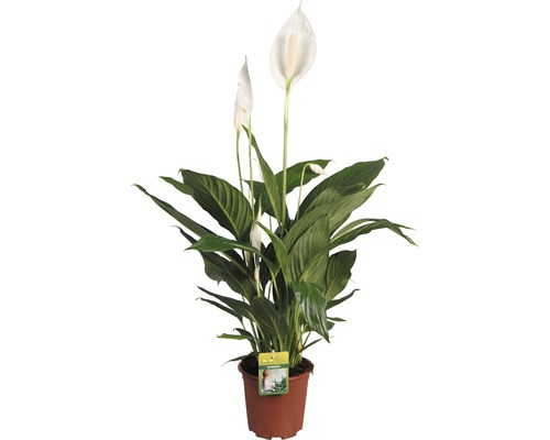 Fleur de lune FloraSelf® pot de 17