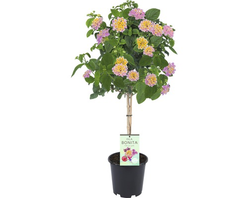 Lantanier arbuste FloraSelf Lantana camara pot Ø 19 cm rose