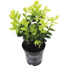 Buchsbaum FloraSelf Buxus sempervirens H 10-15 cm Ø 9 cm Topf (18 Stk.)-thumb-1