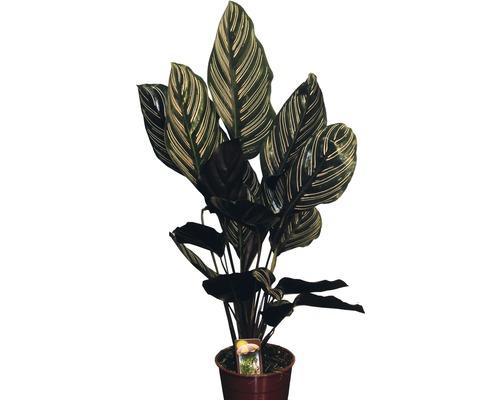 Calathée FloraSelf Calathea ornata H45-55cm pot de Ø14cm