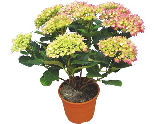 Hortensia FloraSelf® 30-40cm rose