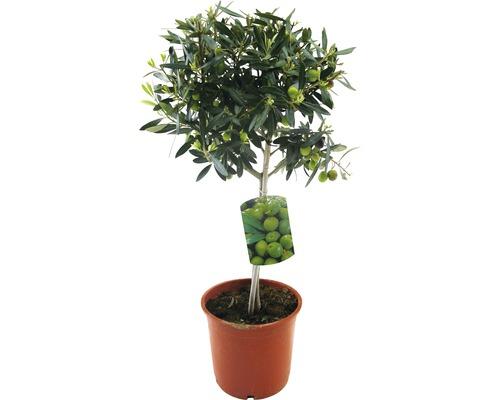 Olivier FloraSelf Olea europaea H 20-40cm pot Ø 20cm