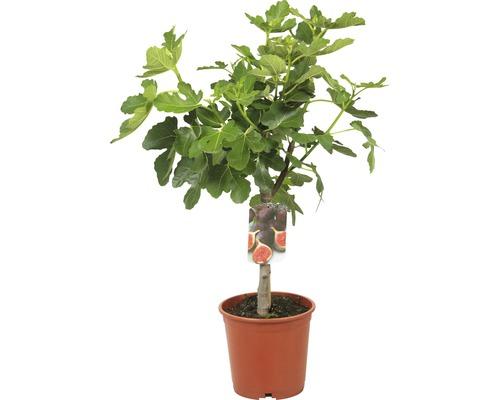 Figuier FloraSelf Ficus carica demi-tige H 40-60 cm hauteur totale env. 80-100 cm Co 15 L