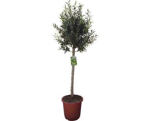 Olivier sur tronc élevé FloraSelf® 140-150cm