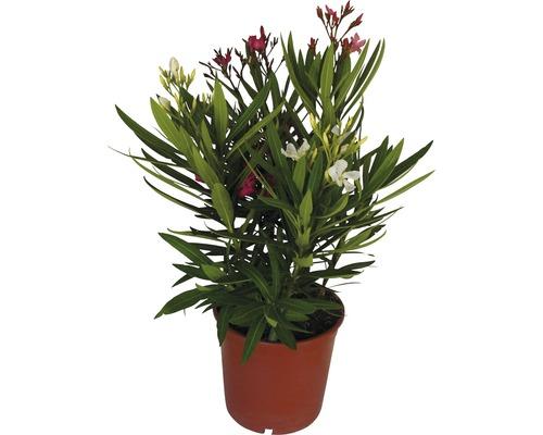 Laurier-rose tricolore FloraSelf® 30-40cm rose-rouge-bordeaux