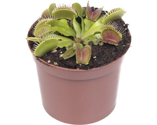 Dionée attrape-mouche FloraSelf Dionaea muscipula h9-11cm pot Ø12cm