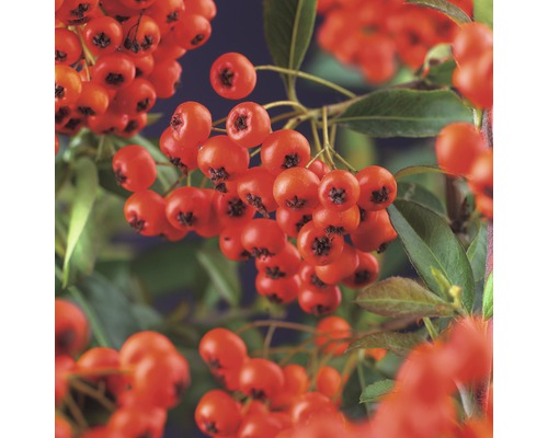 Buisson ardent FloraSelf Pyracantha coccinea ''Red Column'' H55-70cm Co 2,5l
