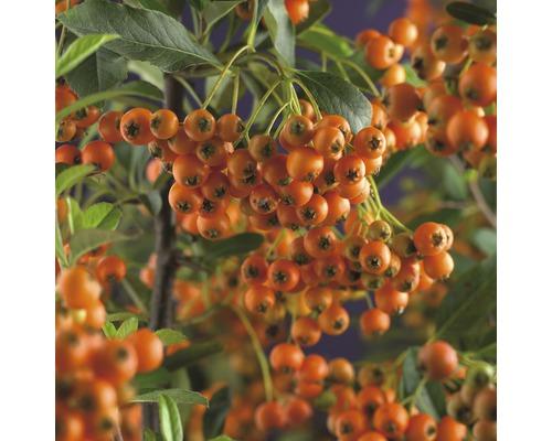 Buisson ardent FloraSelf Pyracantha ''Orange Charmer'' H55-70cm Co 2,5l