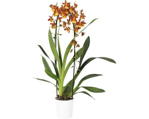 Orchidee cambria FloraSelf Cambria x Hybride ''Catatante Cascade'' h 65 cm pot Ø 12 cm 1 panicule