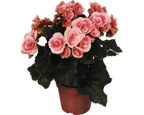 Bégonia Elatior FloraSelf Begonia Groupe Elatior ''Borias'' pot de 14cm