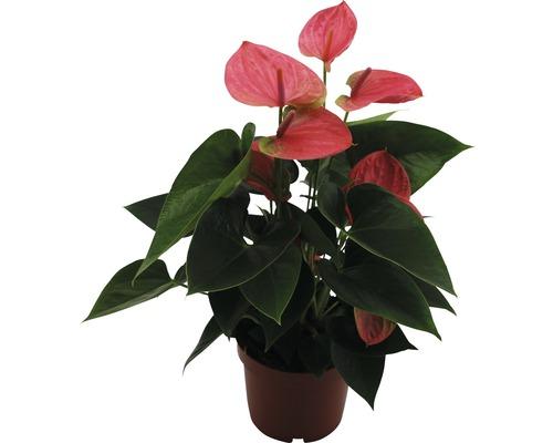 Langue de feu FloraSelf Anthurium andreanum H 40-45 cm pot Ø 12cm