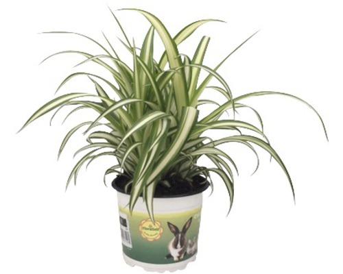2 x chlorophytons chevelus PetSnack FloraSelf Chlorophytum comosum H 20-25 cm pot Ø 12 cm