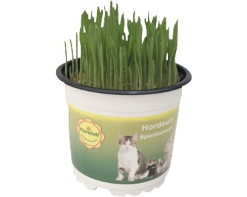 2 x blé fourrager blé tendre herbe à chat PetSnack FloraSelf Triticum aestivum H 15-17 cmØ 12 cm pot