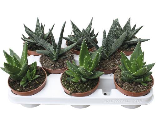 Aloe FloraSelf® différentes variétés pot de 10,5
