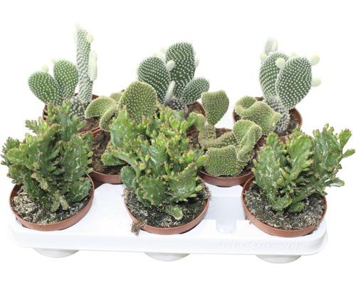 Cactus FloraSelf Opuntia H15-20 cm pot Ø 10,5 cm sélection aléatoire de variétés