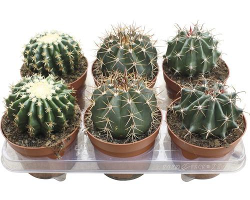 Cactus FloraSelf cactus H15-20cm pot Ø13cm assorti