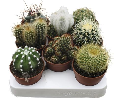 Cactus FloraSelf cactus H15-20cm pot Ø8,5cm assorti