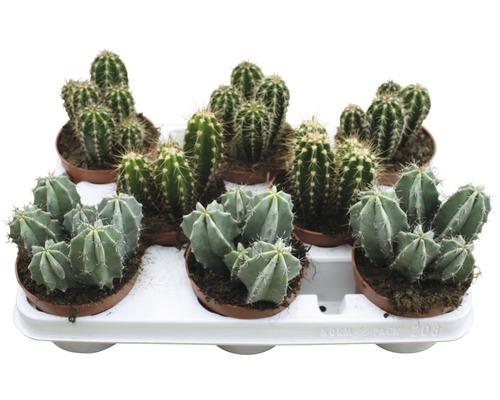 Cactus FloraSelf Cereus ''Skyline'' H 15-20 cm Ø 10,5 cm pot assorti