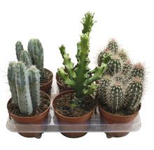 Cactus FloraSelf cactus H15-20cm pot Ø13cm assorti-thumb-0