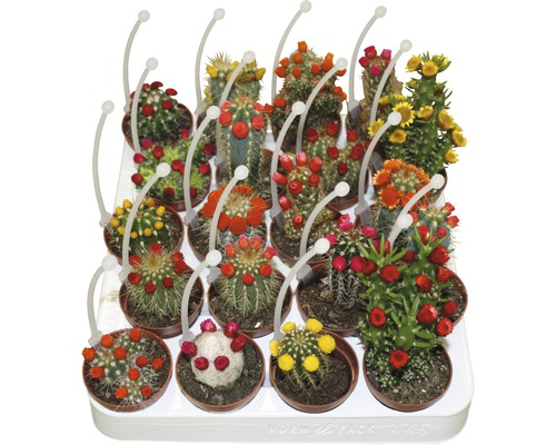 Cactus avec immortelles FloraSelf Cactus H 15-20 cm pot Ø 5,5 cm sélection aléatoire de variétés