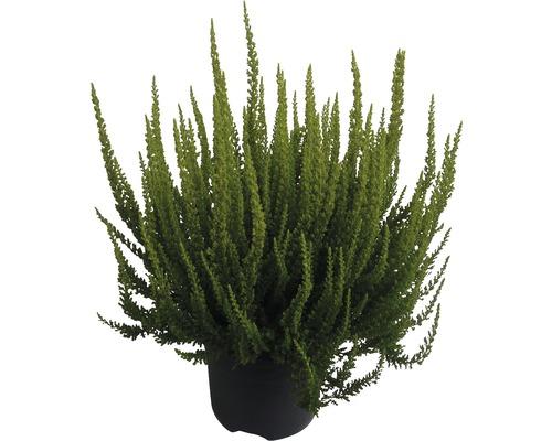 Bruyère commune, callune FloraSelf Calluna vulgaris ''Skyline'' pot Ø 17 cm