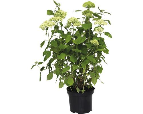 Hortensia boule FloraSelf Annabelle, 60-80 cm