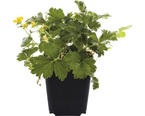 12 x Waldsteinia ternata FloraSelf H5-10cm pot Ø9cm