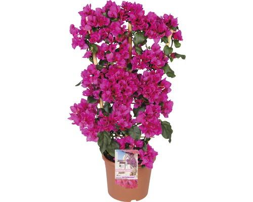 Bougainvillea FloraSelf® Bougainvillea Glabra sandriana ''Renate'' Ø 21 H 20-55cm