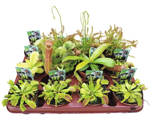 Plantes carnivores FloraSelf Dionaea, Nepenthes, Pingucula, Sarracenia, Drosera H8-10 cm pot Ø 8,5 cm sélection aléatoire de variétés