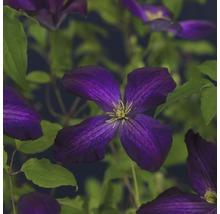 Clématite FloraSelf Clematis x Hybride ''Jackmanii Purpurea PBR'' Co 2,3l-thumb-0