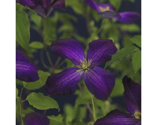 Clématite FloraSelf Clematis x Hybride ''Jackmanii Purpurea PBR'' Co 2,3l-0