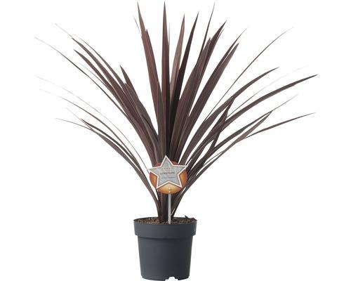 Cordyline FloraSelf Cordyline australis ''Red Star'' pot de 17cm