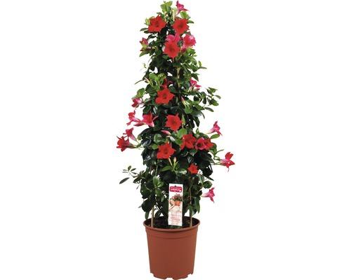 Mandevilla Dipladenia sundevilla rouge pyramide T21 90cm