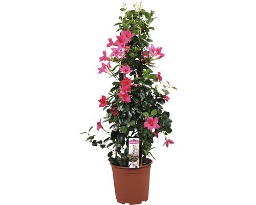 Mandevilla Dipladenia sundevilla rose foncé pyramide T21 90cm