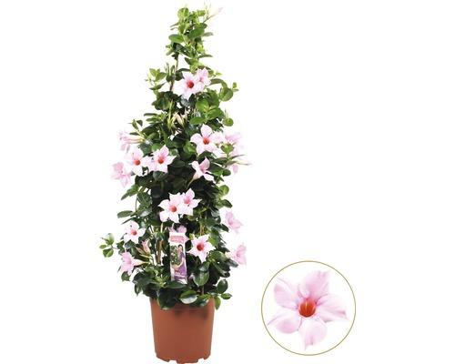 Mandevilla Dipladenia sundevilla rose clair pyramide T19 60cm