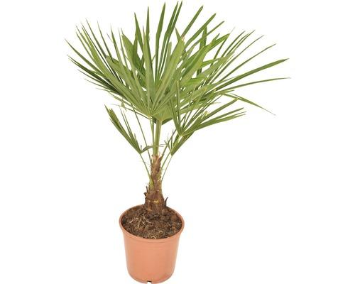 Palmier chanvre FloraSelf Trachycarpus fortunei H 50-60 cm pot Ø 20 cm
