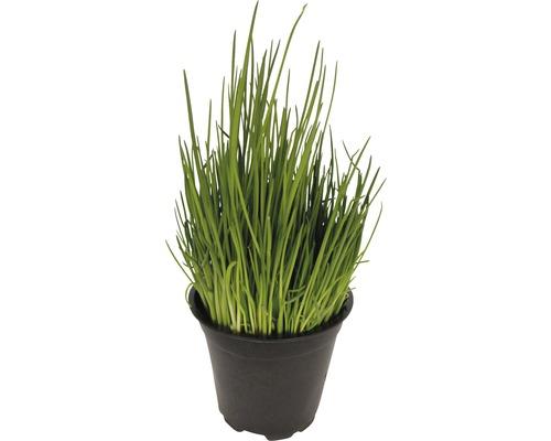 Ciboulette FloraSelf Allium schoenoprasum ''Staro' pot de 12 cm de Ø