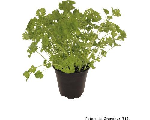 Persil FloraSelf Petroselinum crispum ''Grandeur'' pot Ø 12 cm