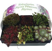 Arbrisseaux pour rocaille mélange FloraSelf h 2-5 cm Ø 9 pot cm lot de 6-thumb-0