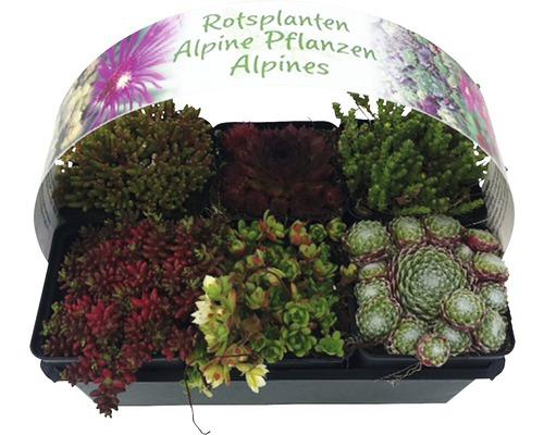 Arbrisseaux pour rocaille mélange FloraSelf h 2-5 cm Ø 9 pot cm lot de 6