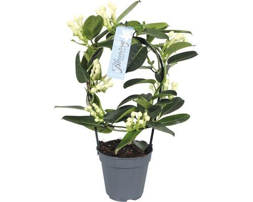Jasmin de Madagascar FloraSelf® 7-8 fleurs