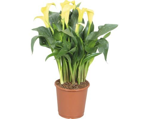 Arum FloraSelf Zantedeschia ''Sunclub'' H 40-45 cm pot Ø 13 cm jaune