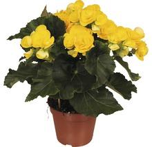 Bégonia Elatior FloraSelf Begonia elatior ''Rebecca'' H30-40 cm pot Ø 14 cm-thumb-0