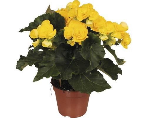 Bégonia Elatior FloraSelf Begonia elatior ''Rebecca'' H30-40 cm pot Ø 14 cm