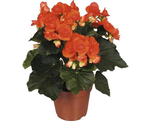Bégonia Elatior FloraSelf Begonia elatior ''Reina'' H 30-40 cm pot Ø 14 cm