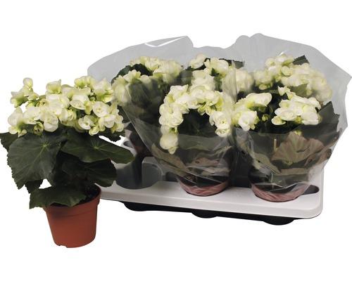 Bégonia Elatior FloraSelf Begonia elatior ''Netja'' H30-40 cm pot Ø 14 cm