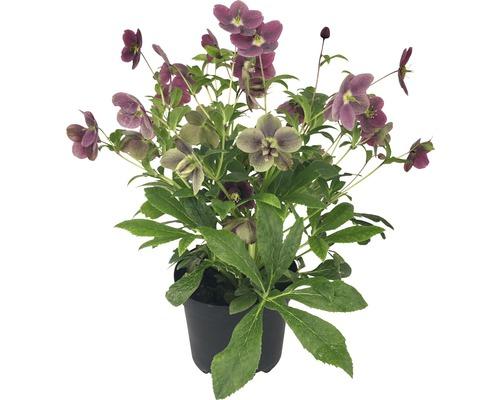 Hellébore FloraSelf Helleborus x Hybride ''Viv'' pot Ø 17 cm