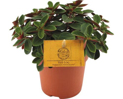 Pilea depressa FloraSelf Peperomia verticilata ''Red Log'' pot de 10,5 cm
