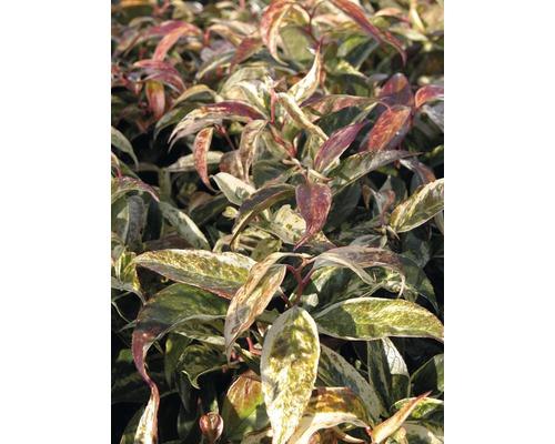 Traubenheide Leucothoe walteri ''Rainbow'' H 30-40 cm Co 5 L